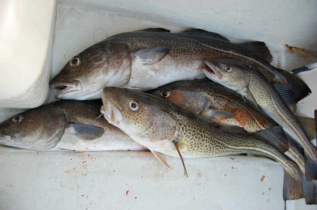Torskefiskeri fra båd hvor der er fanget mange store torsk
