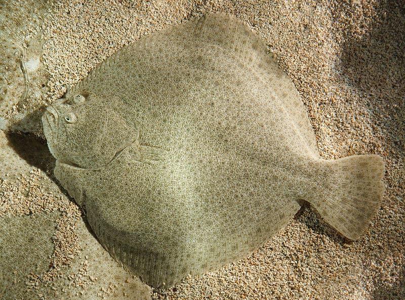 Fladfisk - Pighvar